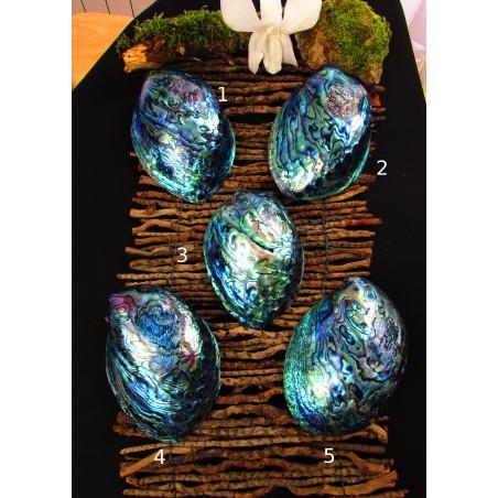 Coquille d'abalone ou d'ormeau polie
